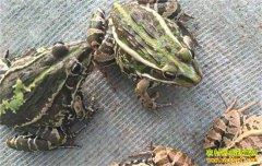 四川内江城市白领李斌返乡创业养青蛙趟出乡村致富路
