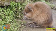 [每日农经]不怕猫的鼠是赚钱高手 养殖麝香鼠前景好
