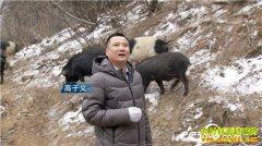 [致富经]陕西铜川高子义养殖藏香猪年卖千万元