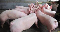 春季养猪 牢记五个字 保你养猪挣大钱
