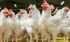 毛鸡价格企稳回升 鸡苗价格迎来上涨