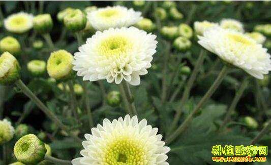 怎样种植盆栽食用菊花?盆栽食用菊栽培技术要点