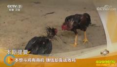 [致富经]云南西双版纳张晓东养斗鸡赚钱却靠战败鸡