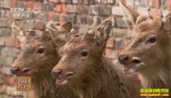 [每日农经]四川射洪:养殖能跳的梅花鹿受欢迎