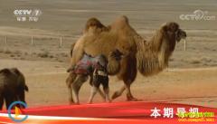 [科技苑]戈壁养骆驼有新招