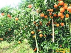 """重庆江津贺君丽种植红肉橙:十年不赚钱的果园成了""""致富园"""""""