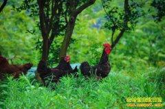 林下土鸡饲养管理技术及疾病防控技术要点