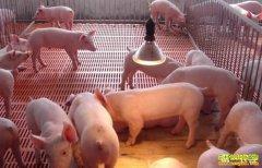 今年养猪赚钱吗?陕西千阳县崔红发养猪走出致富路