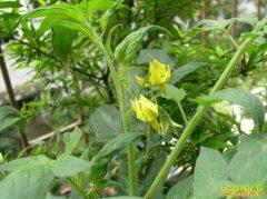 大棚番茄赚钱吗?山东高唐李志刚种植反季节西红柿每亩效益4万元