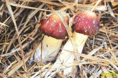 种植赤红菇赚钱吗?四川雷波县刘益红种植赤红菇每亩赚5万