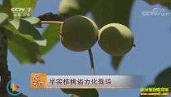 [农广天地]早实核桃省力化种植技术视频