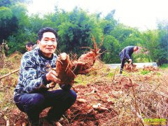 种植葛根赚钱吗?四川泸州邹先林种植粉葛亩入5000元