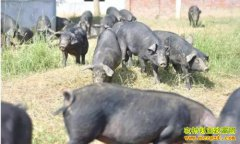 河北平山县李晓波定向养黑猪创出一条生财路