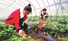 四川仪陇县李银龙回乡创业种植草莓收入不菲