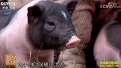 [每日农经]分公母赚钱的广西陆川猪
