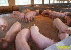 山东聊城大学生夫妻学以致用返乡养猪创业致富