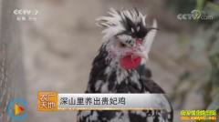 [农广天地]福建上杭县深山里养出贵妃鸡
