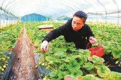 四川泸州大雄村郑伟成温室大棚种草莓亩收入超5万元