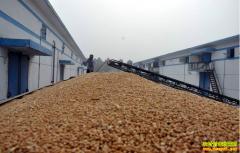 小麦价格预测:市场压力难减 短期内小麦价格难涨