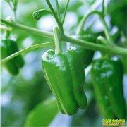 辣椒批发价格上涨近两倍 建议菜农顺势出货