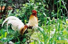 四川乡城县洛绒更林养殖藏鸡铺就致富路