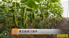 [农广天地]黄瓜疏果下狠手 大棚黄瓜疏果技术视频