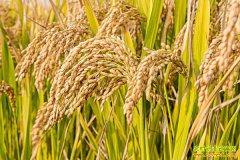 稻米价格持续下滑 农户若有余粮建议尽快出售