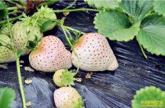 白草莓价格每斤突破百元 普通草莓价格大幅下跌