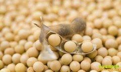 消费淡季大豆价格连续上涨 去年大豆减产仍是主因