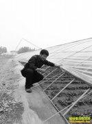 山东东明县高贵华大棚种植早春红薯亩收入1.5万元