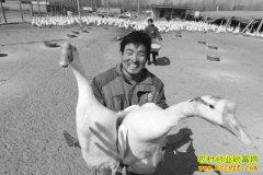 养鹅赚钱吗?山东阳谷县孟凡申养殖种蛋鹅走上致富路