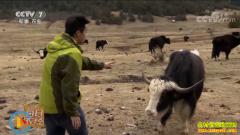 [每日农经]前怕狼后怕雪豹的黑头羊养殖效益好