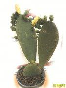 四川康定一掌创富:种植仙人掌,可鲜销可加工
