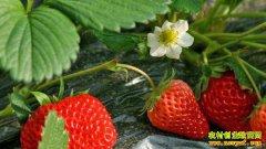 草莓价格触底 新种植方式、新品种效益好