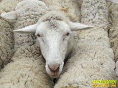 2019年羊价格预测:下半年羊价或再创新高