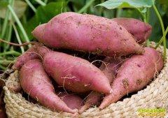 红薯价格多少,种红薯赚钱吗?2019年红薯种植前景利润分析