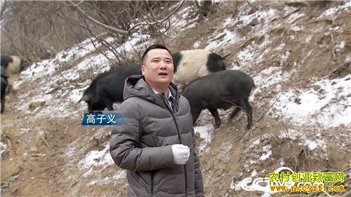 [致富经]陕西铜川高子义荒山挖洞养殖藏香猪年卖千万元