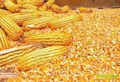 玉米价格持续上涨的原因 分析师预计6月玉米行情走势