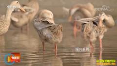"""[科技苑]淡水鸭产下""""海鸭蛋"""" 许承华的麻鸭养殖秘诀"""