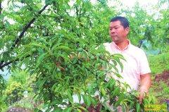 四川泸州返乡农民工李兴全创业种植青脆李好赚钱