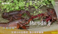 [致富经]湖北监利杨永智养殖小龙虾出奇招翻身致富
