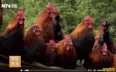 [每日农经]贵州遵义:胆敢追人跑的瑶山鸡养殖效益高