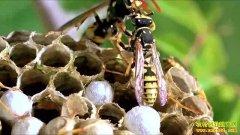 养蜂赚钱吗?养这种蜂不为卖蜂蜜 却挣得更多