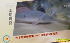 [致富经]广东深圳吴少波养殖稀奇鱼一个月卖300万元