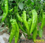 鲜辣椒多少钱一斤?鲜辣椒产区价格下滑 短期内市场价也将回落