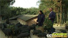 [致富经]四川长宁罗杰返乡创业养殖凶猛尼泊尔高原香猪