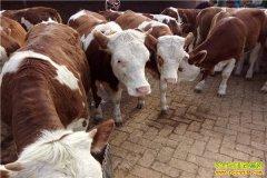 福州小伙王立功到四川养殖黄牛年产值千万元