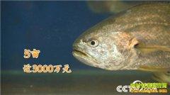 [致富经]浙江南麂岛温简挺投入八年就为让大黄鱼多活一天