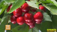 [每日农经]山东冠县:种植早上市的樱桃好赚钱