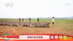 [科技苑]江西鄱阳县程松庆养殖斑嘴鸭效益好